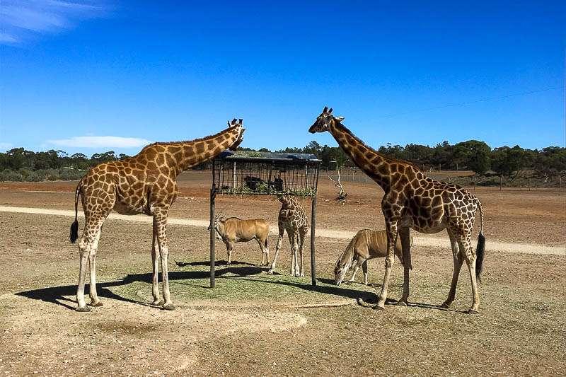 A Day at Monarto Safari Park, South Australia